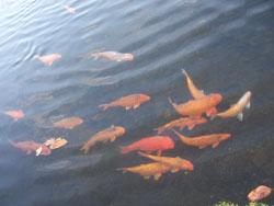 Tirta Gangga Ikan Koi
