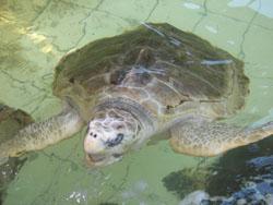 Turtle Big Turtle